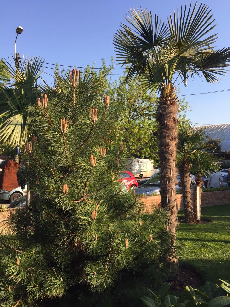 palmieri si conifere
