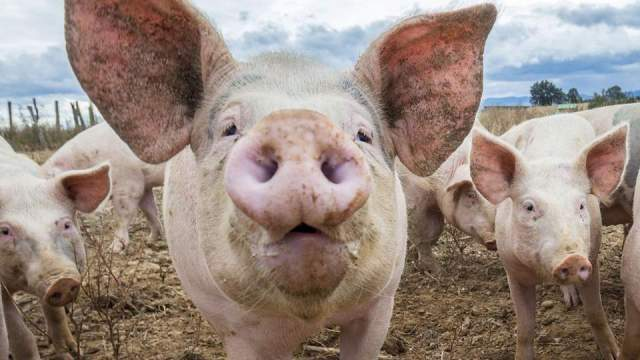 Toți porcii dintr-un sat din Arad vor fi omorâți