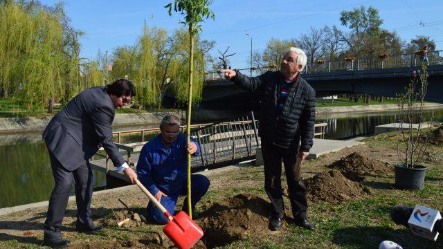 Nicolae Robu plantând arbori pe malul Begăi