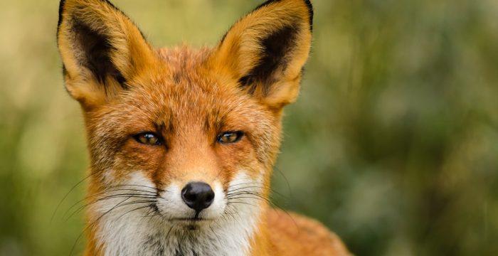 Vulpe în Parcul Național Semenic - Cheile Carașului
