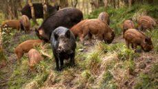 Vânătorii iau în vizor porcii mistreți din Timiș pentru a ține pesta porcină afară din județ