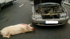 accident porc