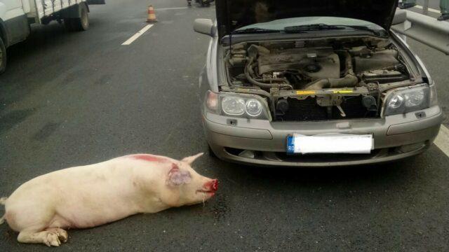accident porc